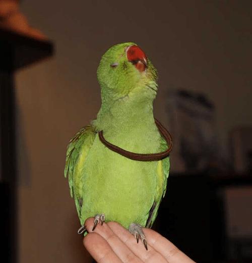 Как научить ожерелового попугая разговаривать - подбор слов