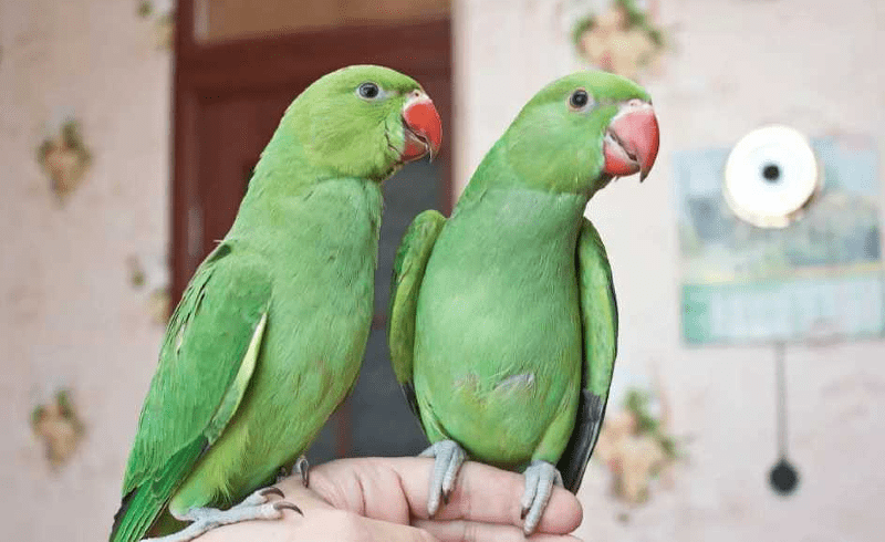 Как научить ожерелового попугая разговаривать - пол