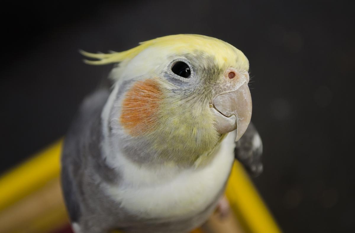 Как научить попугая кореллу разговаривать