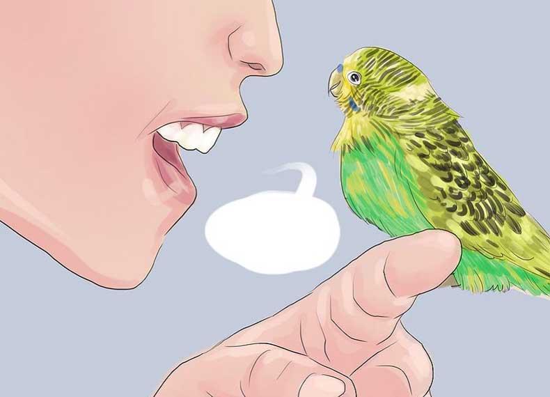 Как обучить волнистого попугая человеческой речи - один на один