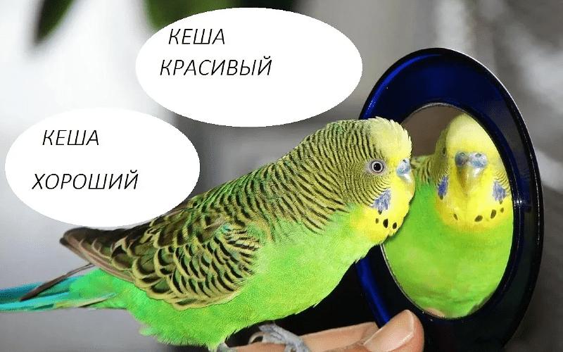 Как обучить волнистого попугая человеческой речи