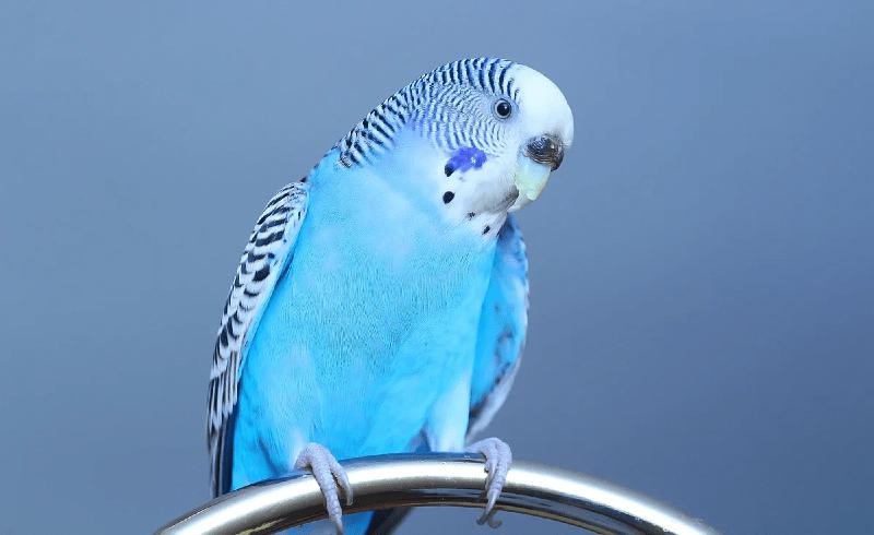 Как определить пол у волнистых попугаев