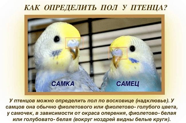 Как определить пол у волнистых попугаев - восковица