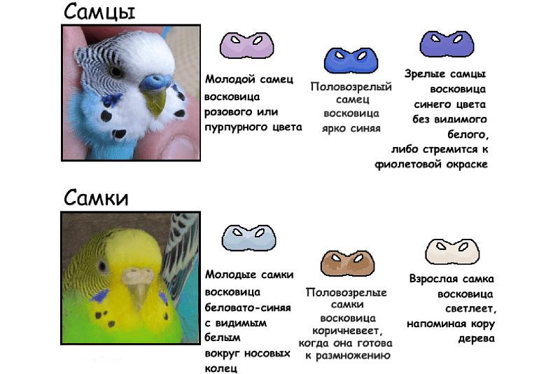 Как определить пол у волнистых попугаев - взрослые птицы