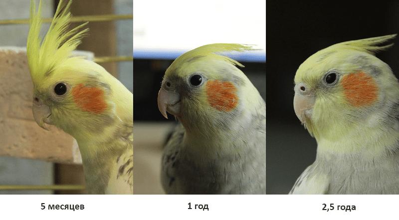 Как определить возраст кореллы по хохолку