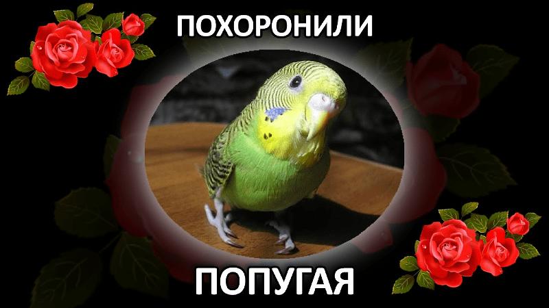 Как похоронить волнистого попугая