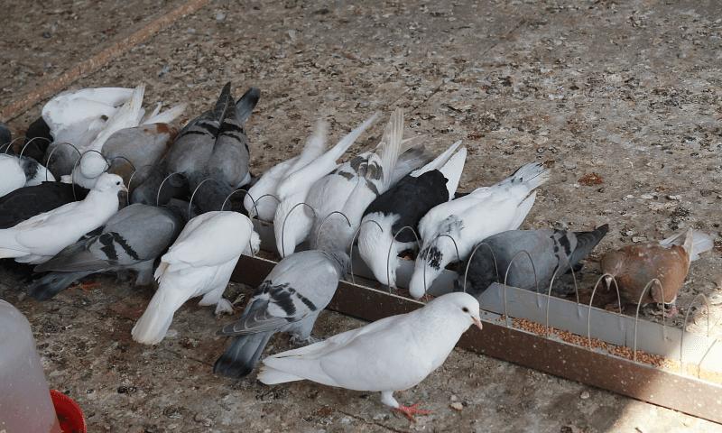 Кормушка для голубей - главное фото