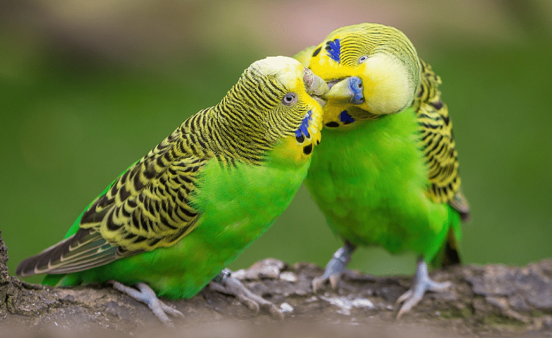 Линька у волнистых попугаев - главное фото