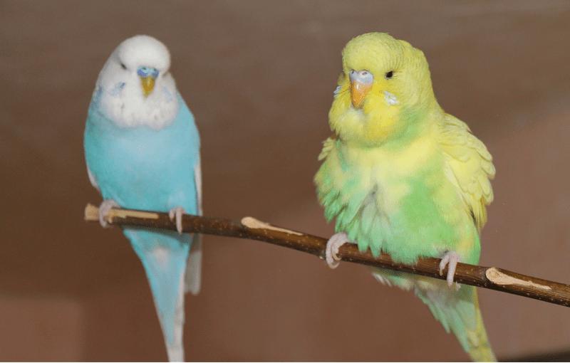 Линька у волнистых попугаев - ювенальная