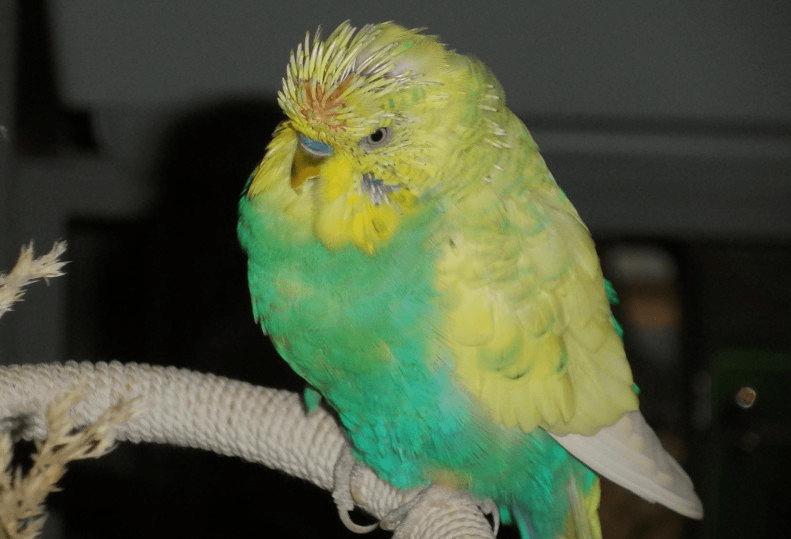 Линька у волнистых попугаев - симптомы