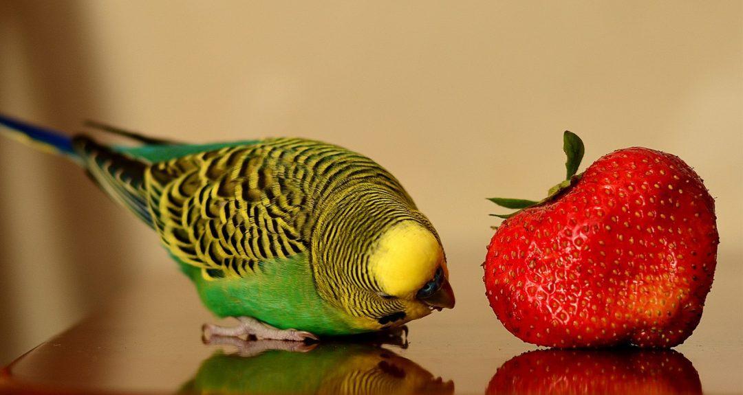 Натуральная еда для волнистого попугая