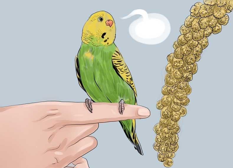 Обучение волнистых попугаев человеческой речи - способы