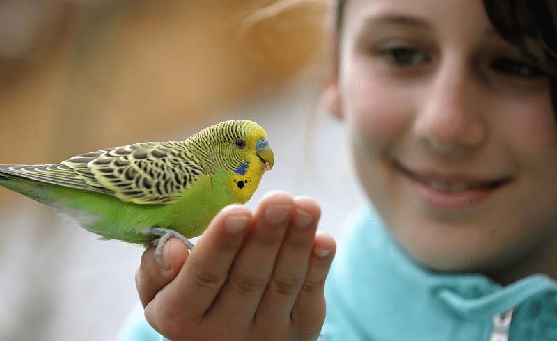 Обучение волнистых попугаев человеческой речи