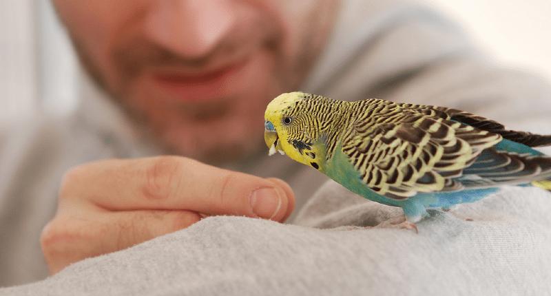 Обучение волнистых попугаев человеческой речи - методика