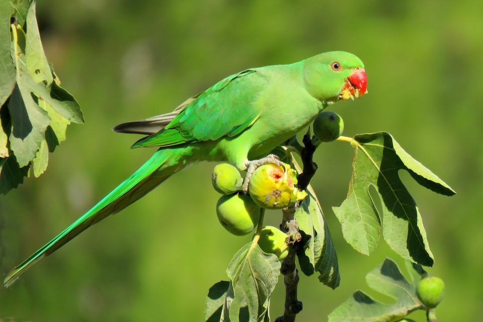 Ожереловый попугай-0