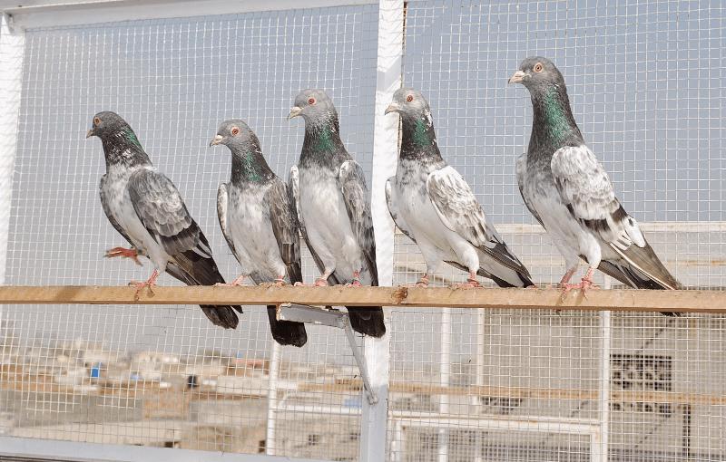 Пакистанские голуби - тренировка и обучение