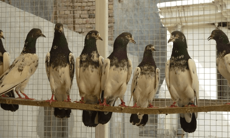 Пакистанские голуби - условия содержания