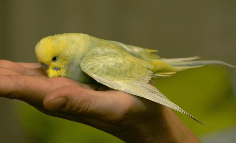 Почему умирают волнистые попугайчики