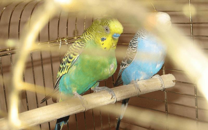 Почему воспаляется зоб у волнистых попугаев - симптомы