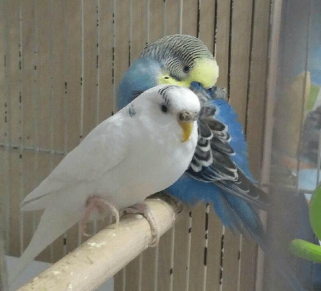 Попугай поджал лапку