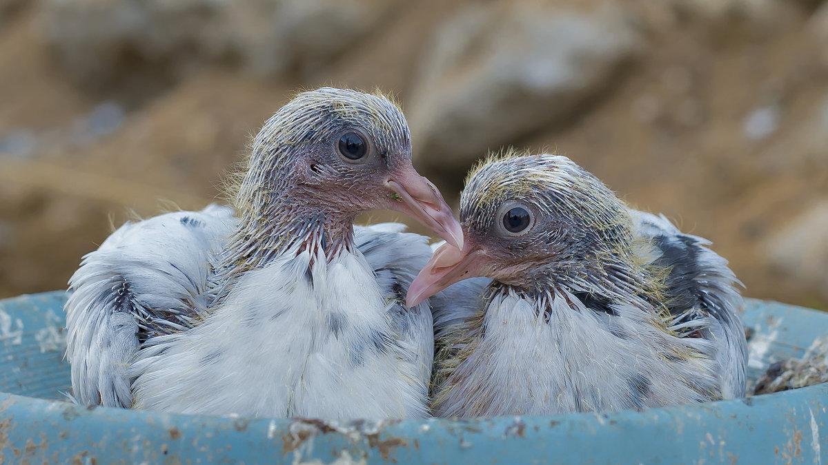Зачем и где голуби прячут детей