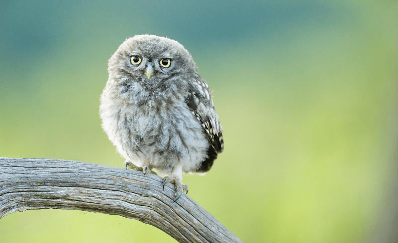 Птенцы совы - главное фото