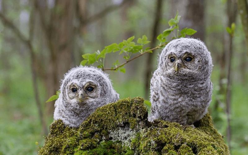 Когда птенцы совы покидают гнездо
