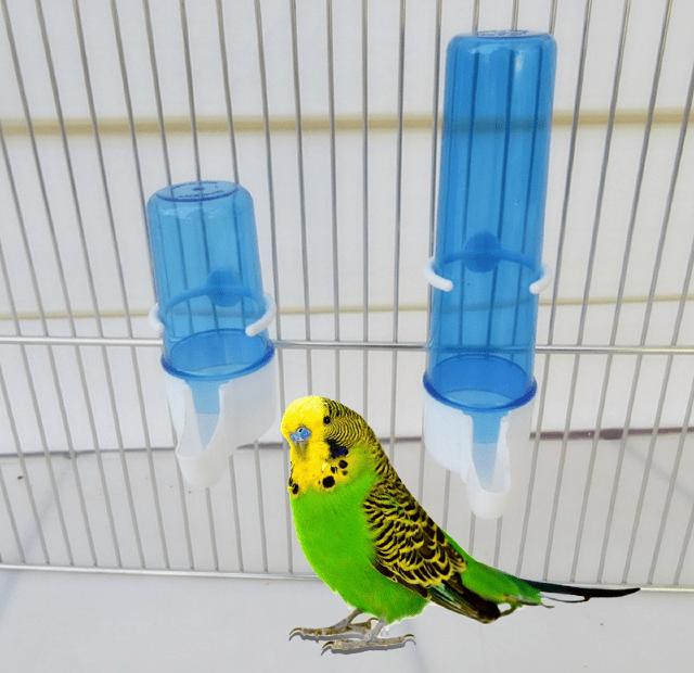 Сколько дней попугай может прожить без воды