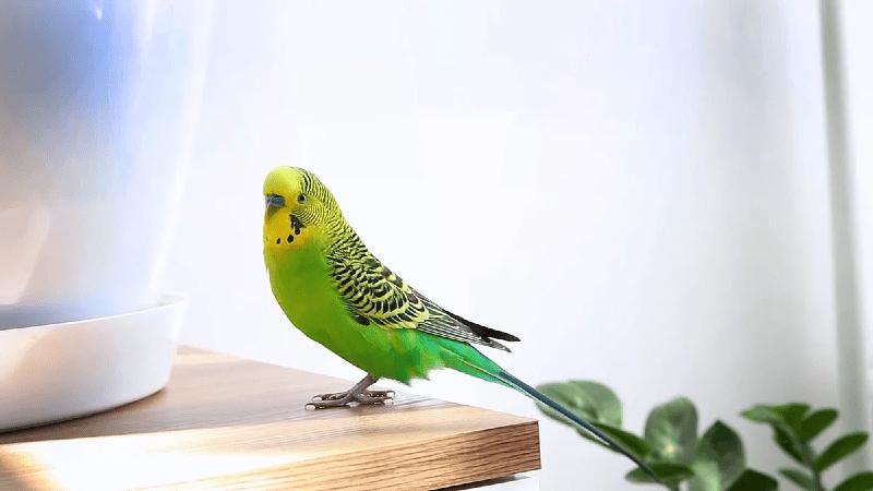 Сколько проживет волнистый попугай без пищи и воды