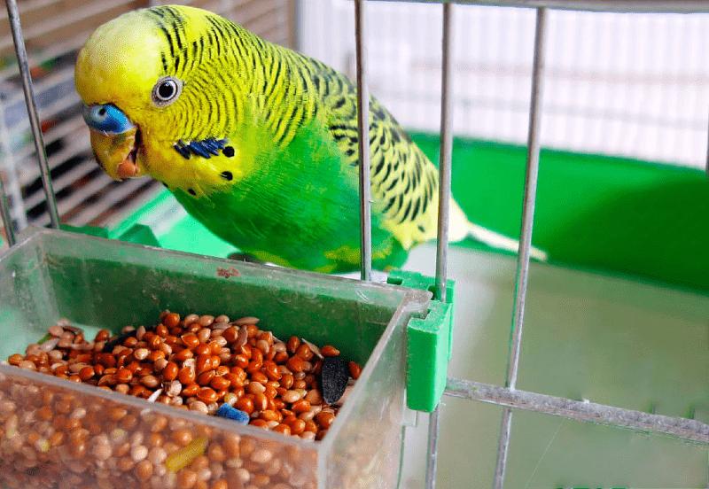 Сколько дней может прожить волнистый попугай без еды