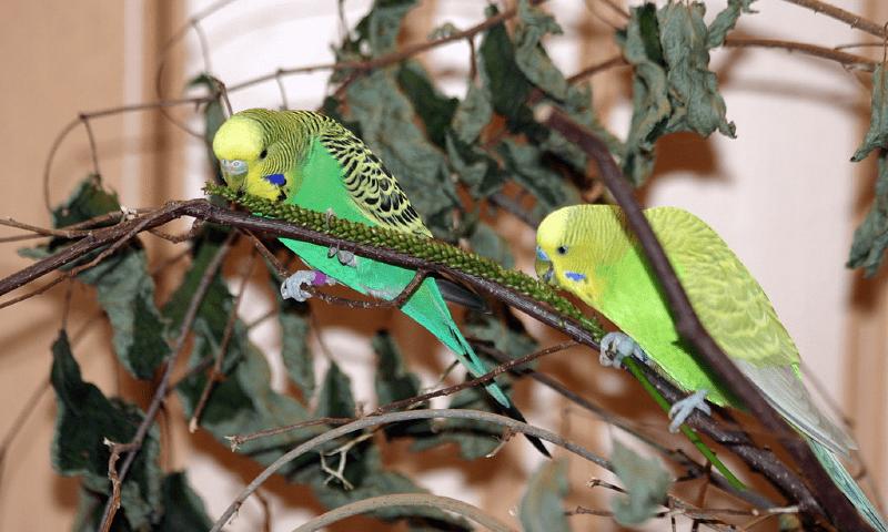 Ветки для волнистых попугаев