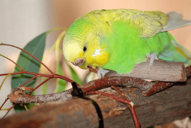 Ветки в рационе волнистых попугаев - главное фото