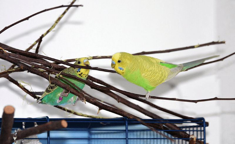 Какие ветки можно давать волнистым попугаям