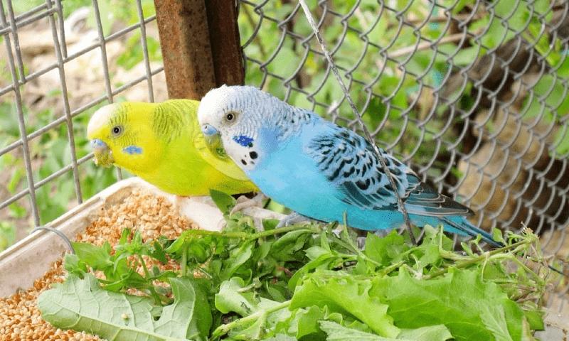 Все о размножении волнистых попугаев