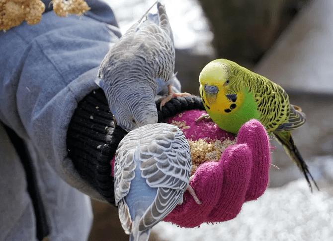 Как размножаются волнистые попугаи