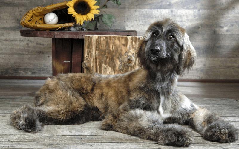 Афганская борзая - щенок