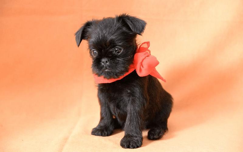 Бельгийский гриффон - щенок
