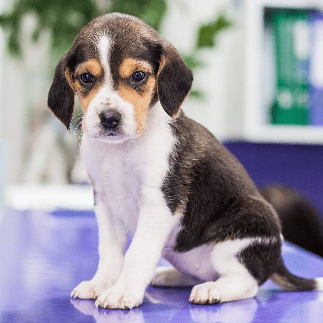 Эстонская гончая - щенок