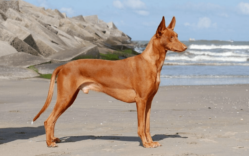 Фараонова собака - главное фото