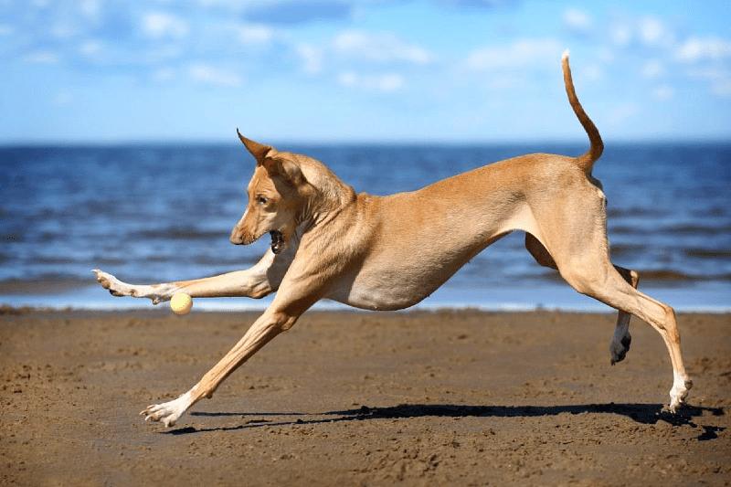 Фараонова собака - прогулки