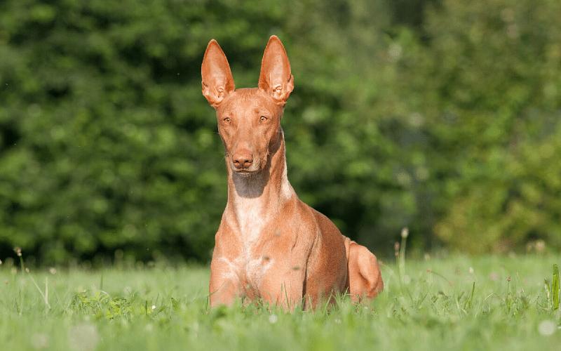 Фараонова собака - характер