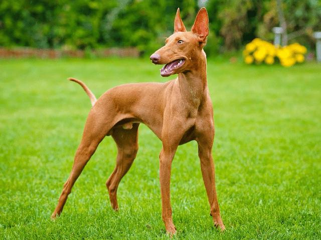 Фараонова собака - история