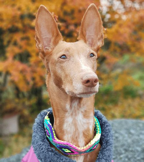 Фараонова собака - гигиена