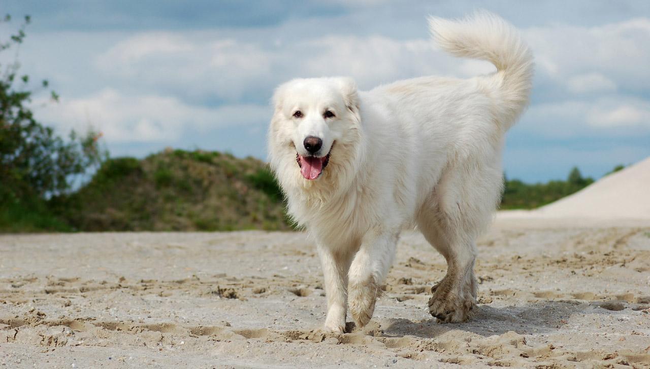 Горная пиринейская собака
