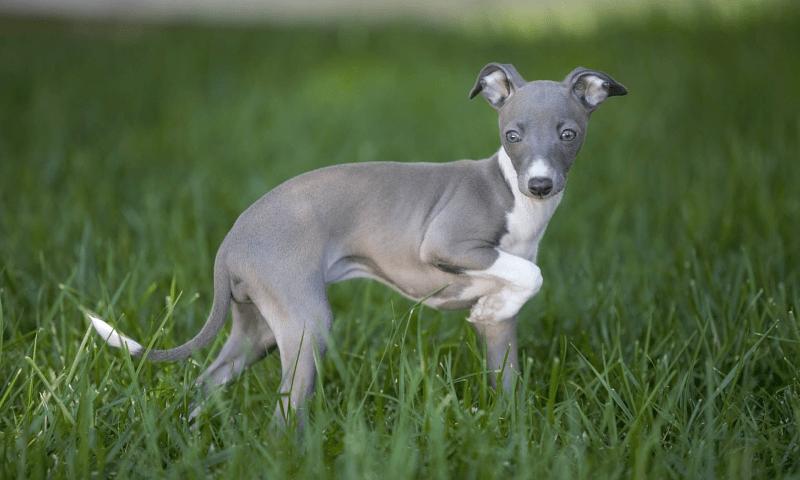Грейхаунд - щенок