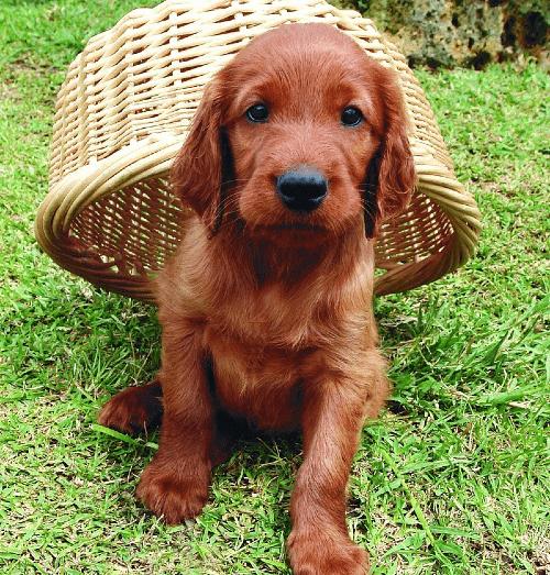 Ирландский сеттер - щенок