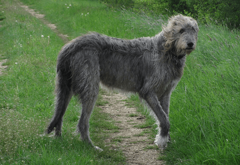 Ирландский волкодав - вид сбоку