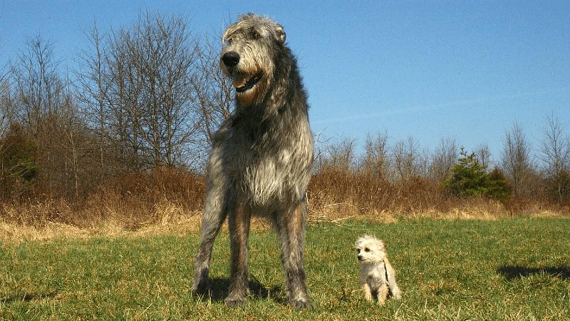 Ирландский волкодав на прогулке