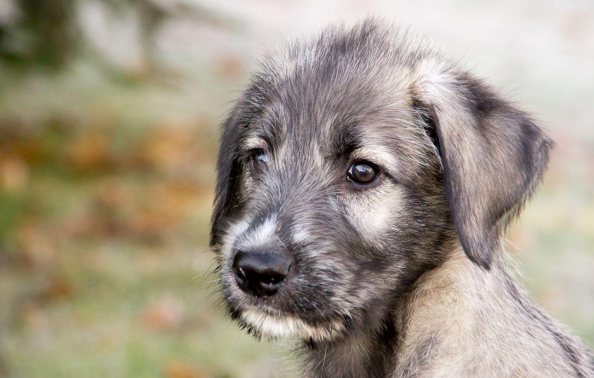 Ирландский волкодав - щенок