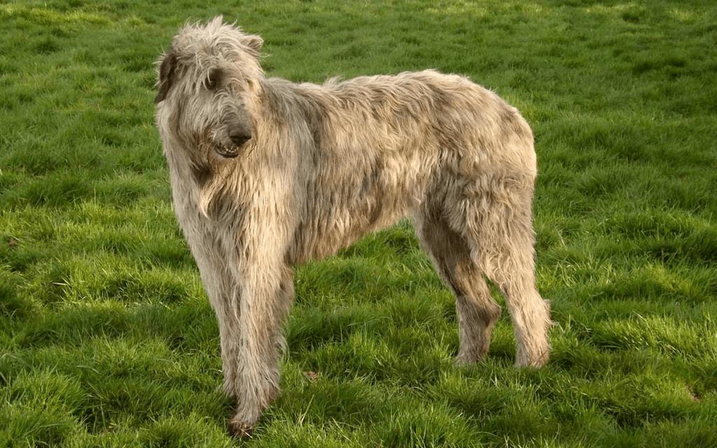 Ирландский волкодав - история